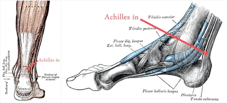 az Achilles ín anatómiája