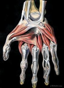 a kéz anatómiája