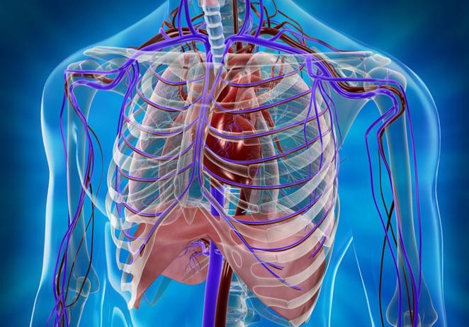a mellkas anatómiája
