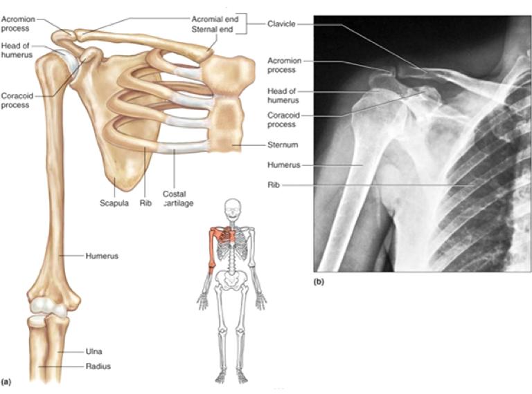 váll anatómiája